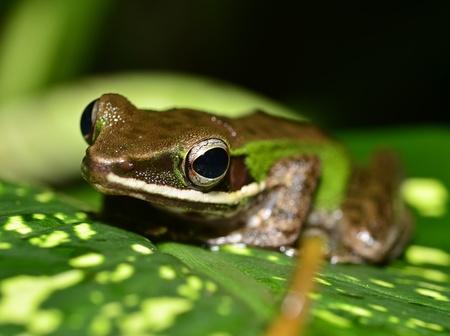 red eyed leaf frog: Frog Close up Stock Photo