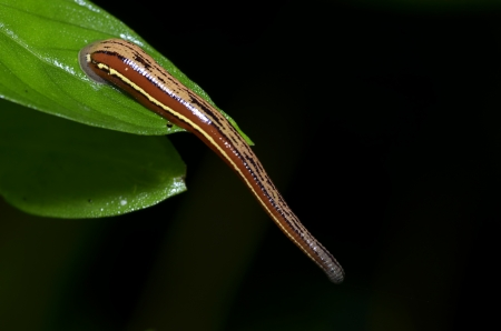 水蛭對綠葉宏 版權商用圖片
