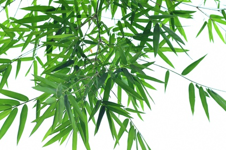 Green bamboo leaf isolated photo