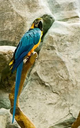 maccaw: Beautiful colorful maccaw
