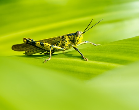 Macro of yellow grasshopper photo