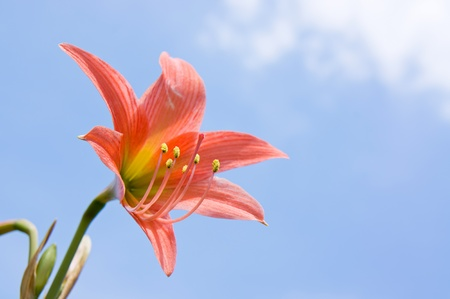 Lily flower and blue sky background photo