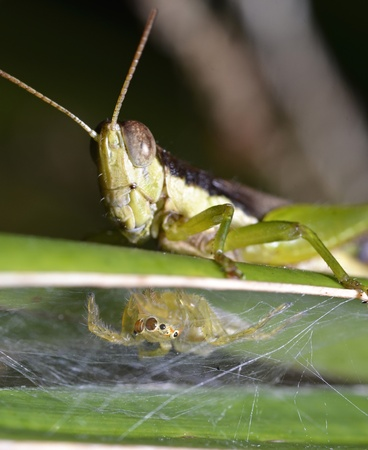 Grasshopper and spider on green leaf photo