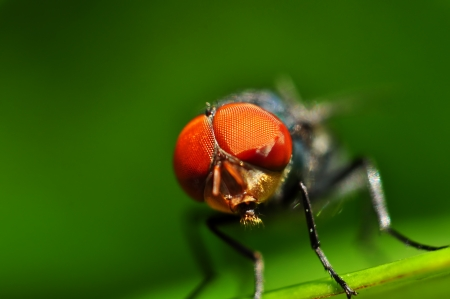 musca domestica: House fly on macro Stock Photo
