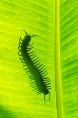 segmented bodies: Poison animal centipede detail silhouetted