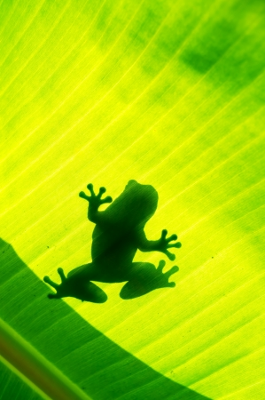 Silhouetted of frog on green leaf photo