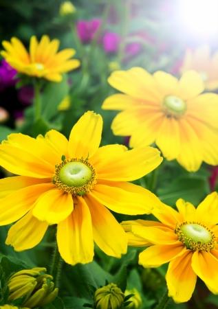 Fresh sun flower blooming at morning sunlight Stock Photo - 15327926