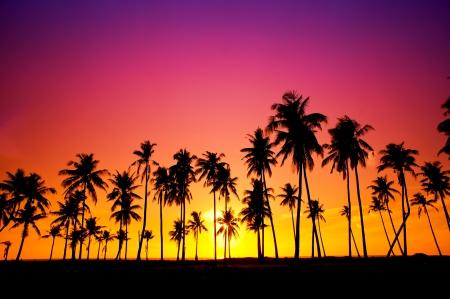 일몰 동안 코코넛 나무의 윤곽