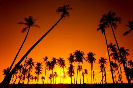 在夕陽的映襯椰子樹