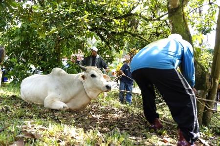 slaughtering: PAHANG, MALAYSIA - OKTOBER 26: Unidentified Malaysian Muslims mooring cow in slaughtering during Eid Al-Adha Al Mubarak, the Feast of Sacrifice on Oktober 26, 2012 in Pahang, Malaysia.