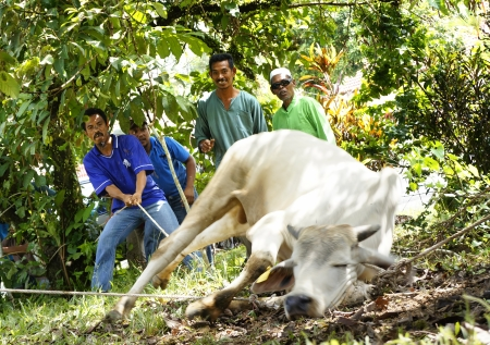 slaughtering: PAHANG, MALAYSIA - OKTOBER 26: Unidentified Malaysian Muslims help in slaughtering a cow during Eid Al-Adha Al Mubarak, the Feast of Sacrifice on Oktober 26, 2012 in Pahang, Malaysia.  Editorial