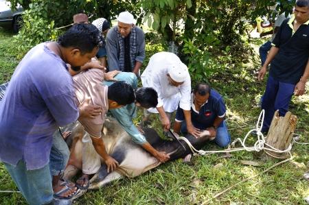 slaughtering: Pahang, Malaysia - OKTOBER 26: non identificati musulmani malesi aiutare nella macellazione di una mucca durante l'Eid Al-Adha Al Mubarak, la Festa del Sacrificio in Ottobre 26, 2012 in Pahang, Malaysia.