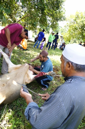 slaughtering: PAHANG, MALAYSIA - OKTOBER 26: Abdul Malik sharpen knife in slaughtering a cow during Eid Al-Adha Al Mubarak, the Feast of Sacrifice on Oktober 26, 2012 in Pahang, Malaysia.  Editorial