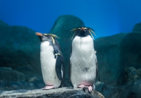 Rockhopper penguin  photo