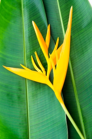 heliconia: Heliconia flowers on banana leaf