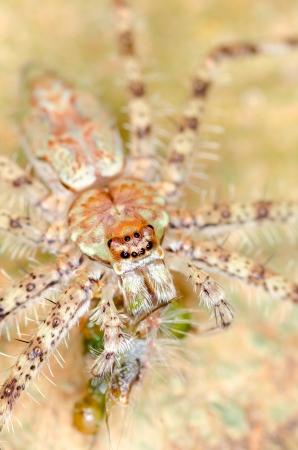 arachnoid: Macro di Hunstman ragno