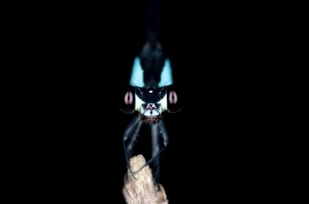 arachnoid: Macro di blue dragon vista da davanti di notte Archivio Fotografico