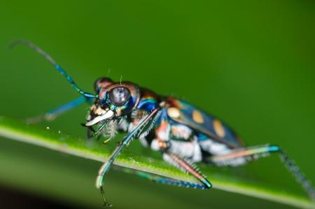 tiger beetle: Macro of tiger beetle on green leaf at night