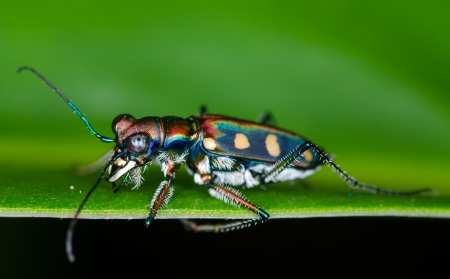 compound eyes: Macro of tiger beetle on green leaf at night