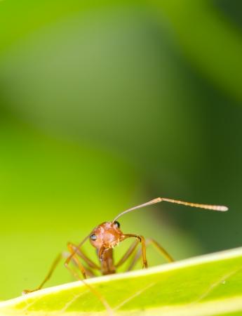 ant leaf: Macro de la hormiga en la hoja verde Foto de archivo