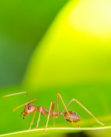 arachnoid: Macro of ant on green leaf