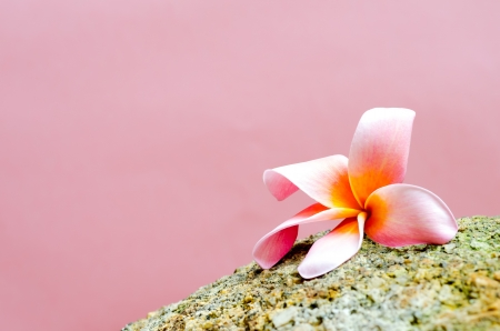 Plumeria flower on stone isolated photo