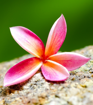 Plumeria flower on stone  photo