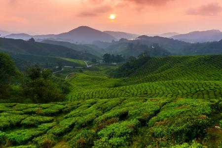 Tea plantation during sunrise at Cameron Highland, Malaysia