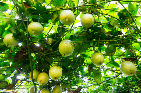pasion: Plantación de fruta de la pasión-Cierre de la fruta Foto de archivo