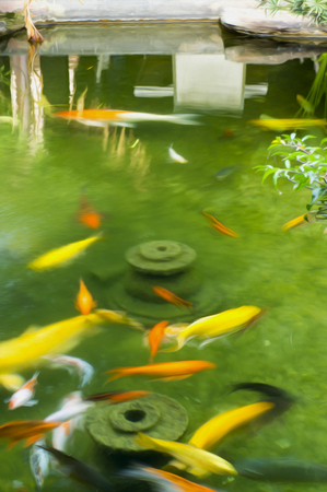 resemble: Colorful carp fish in a pond. This photo has been given a image digital effect to make it resemble an oil painting.