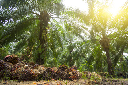 Palmöl-Plantage und Morgensonne
