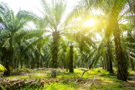 Palm oil plantation and morning sunlight Imagens - 65794552
