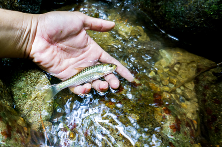 ecosystems: Biodiversity concept - Hand holding freshwater fish at natural rainforest waterfall Stock Photo