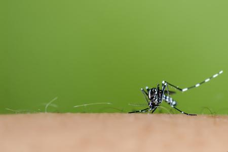 albopictus: Albopictus mosquito sucking blood Stock Photo