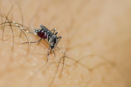 sucking: Albopictus mosquito sucking blood Stock Photo