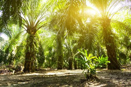 パーム油のプランテーションと朝の日光