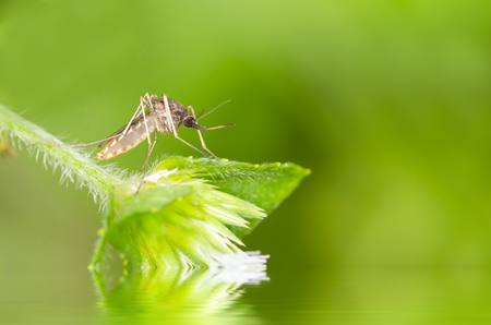 albopictus: Macro and depth of field (DOF) effect of mosquito with water reflection - Mosquito resting on green leaf Stock Photo