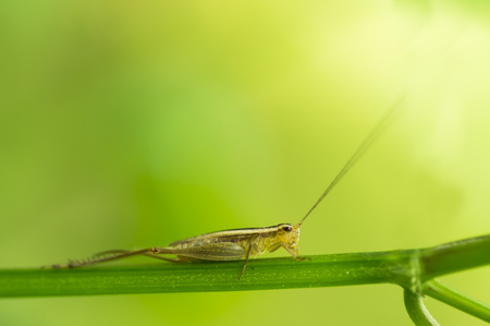 Beautiful macro of cricket on green leaf with depth of field (DOF) effect. Selective and soft focus. Stock Photo