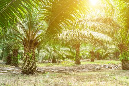 la plantation d & # 39 ; huile de palme et la
