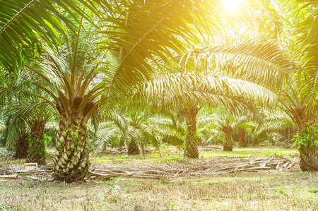 Palmölplantage und Morgensonnenlicht