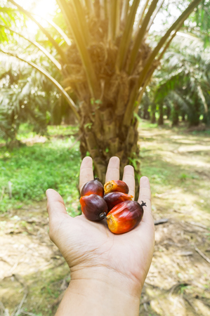 Palm oil seeds on males hand with plantation background and sunlight effect.