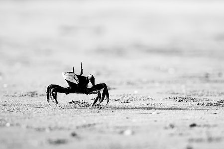 Crab at sand beach in black and white. High key effect. Stock Photo