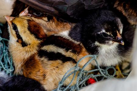 Cute junglefowl chick is in the nest. Newborn chicks.