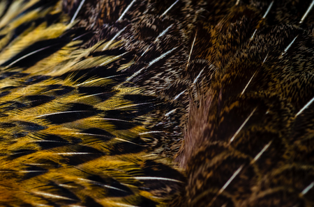 Close up chicken feathers background. Jungle Fowl chicken. Depth of field (DOF) effect. Banco de Imagens