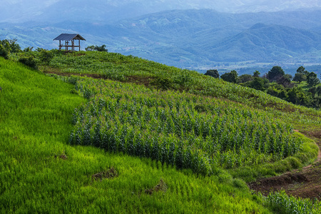 little hut surrounded by crop and corn on top of the mountain in the countryside at Pa Bong Piang near Inthanon National Park and Mae Chaem, Chiangmai, Thailand.