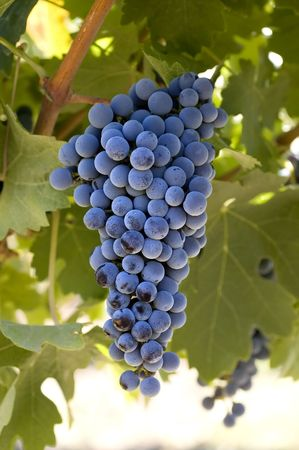 A beautiful view of a bunch of fresh, juicy ripe Cabernet Sauvignon grapes still on the vine, ready to be picked.