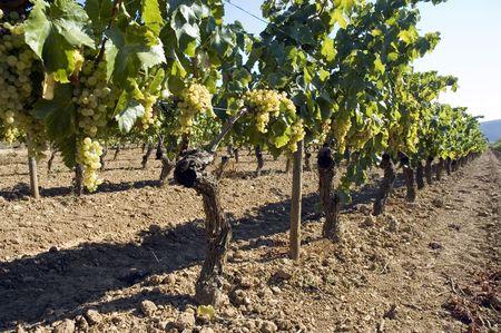terroir: Rows of grape vines in vineyard. Stock Photo