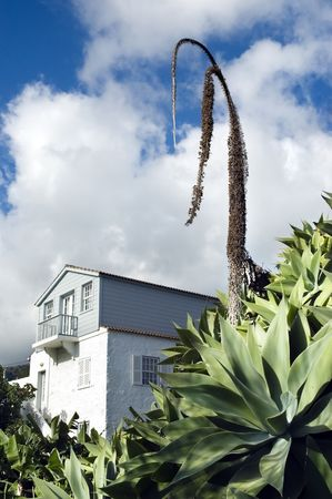 arched neck: Big agave in a garden (agave attenuata) Stock Photo