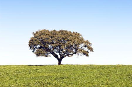Lonely tree in green grass landscape, Alentejo, Portugal photo