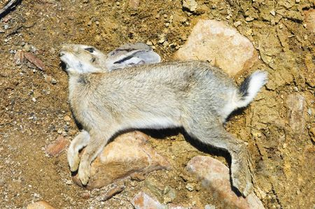 Dead rabbit laying down killed by some disease Stock Photo - 2712906